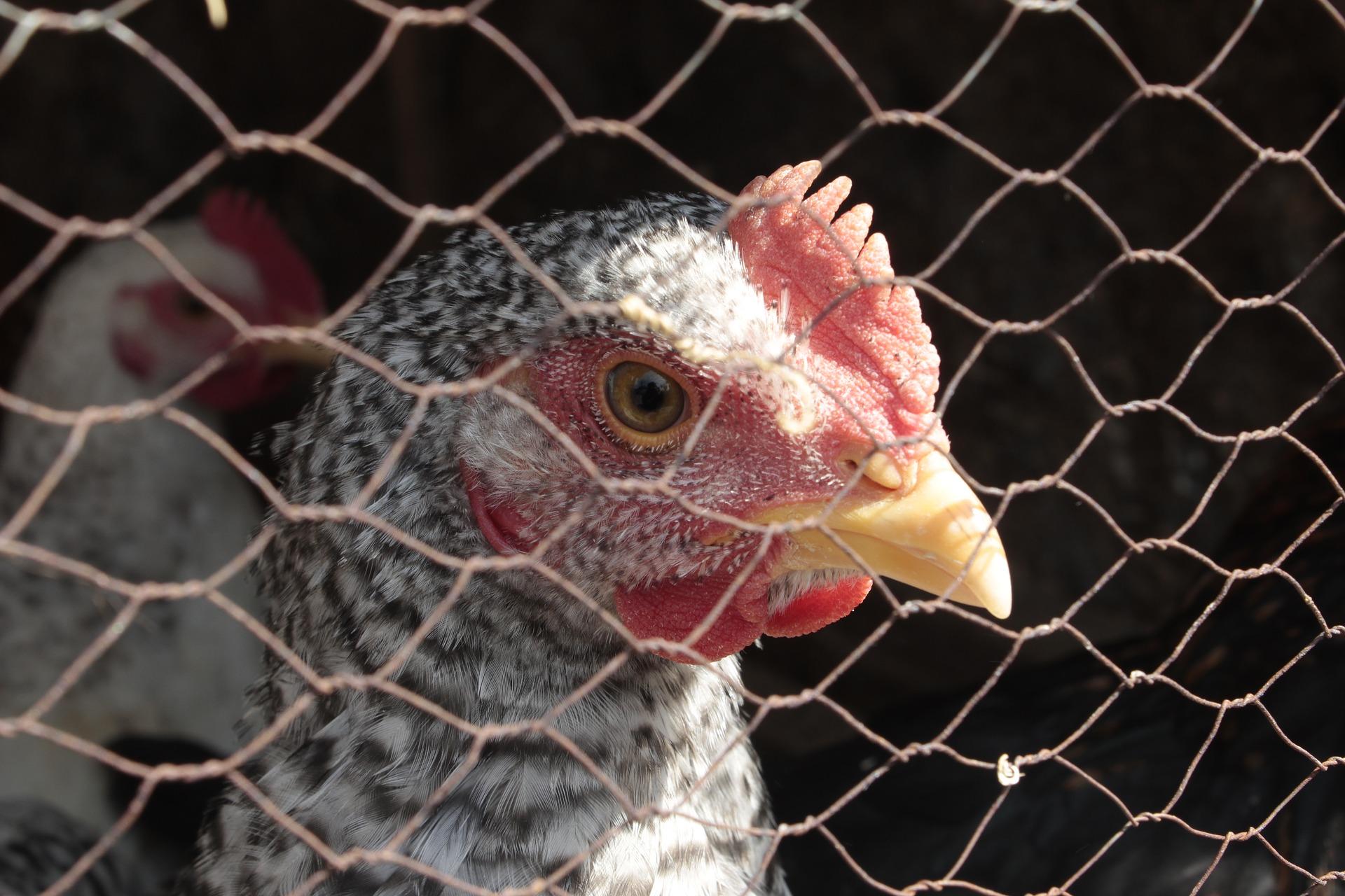 cage volaille_bienetre_CLCV_etiquette_animal