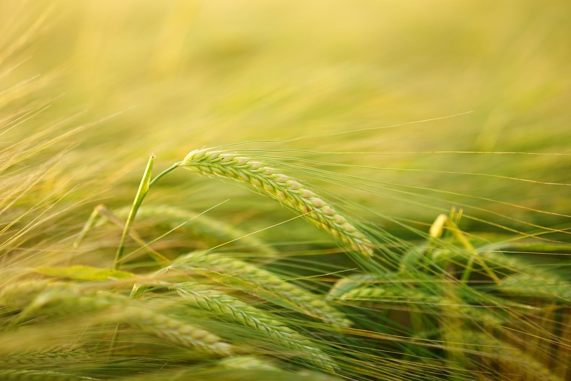 champs blé clcv