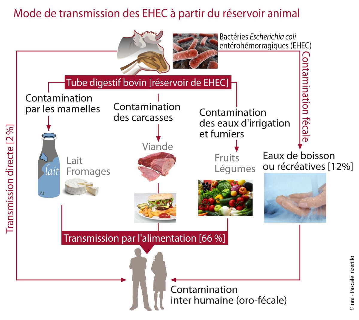 Diagramme Modes de transmission des EHEC à partir du réservoir animal